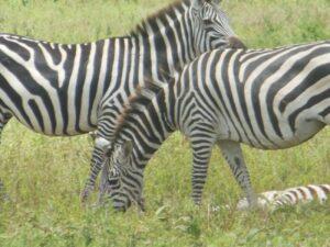 zebra during photo safari Tanzania