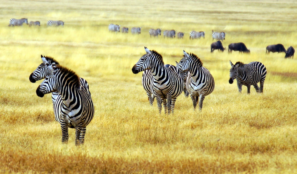 Zebras on the Savannah Tanzania Safari - Proud African Safaris