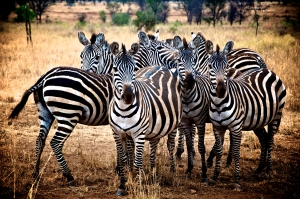 Group of zebras - Tanzania Safari - Proud African Safaris