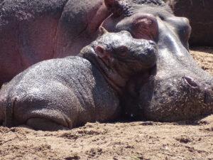 Hippos Tanzania Safari