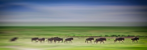 Wildebeest on Tanzania Safari