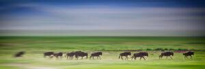 Wildebeest on Tanzania Safari