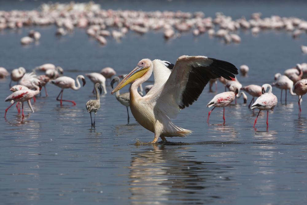 Pelican & Flamingos Tanzania Safari - Proud African Safaris