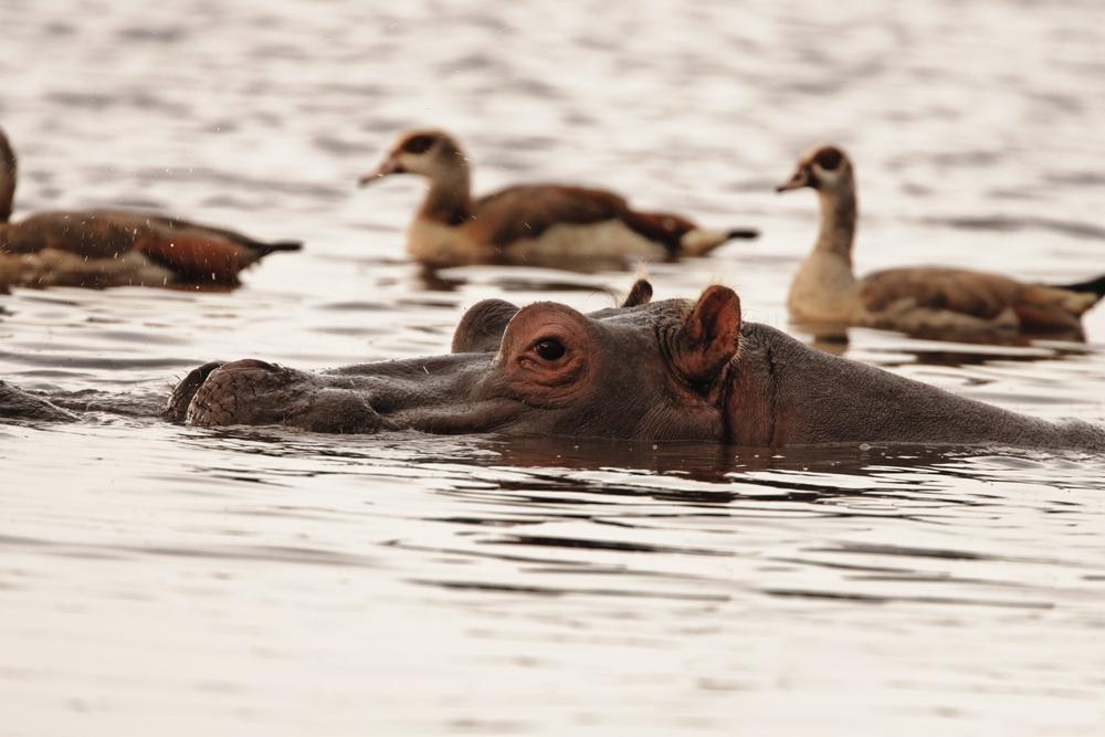 Lake Manyara hippo - Tanzania Safari - Proud African Safaris