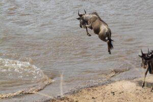 Wildebeest by Eunice on Tanzania Safari - Proud African Safaris