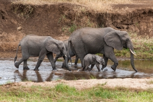 Elephant family - Tanzania safari - Proud African Safaris