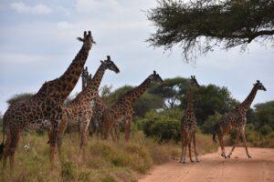 giraffes on Tanzania safari